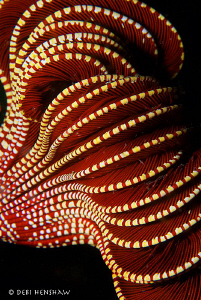 &quot;Crinoid&quot; A different take on a common subject. Malapascu... by Debi Henshaw 